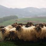El Baztán y la oveja latxa