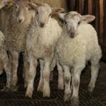 corderos de latxa